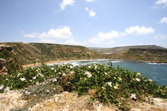 Flowering capers and Beach, Malta. Wild capers blossom on the Northern coast of Malta Royalty Free Stock Photos