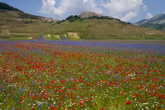 The flowering of Castelluccio di Norcia. Is a spring event that attracts many photographers and tourists. In the plain of Castelluccio, Umbria, lentils are Stock Photos