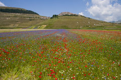 The flowering of Castelluccio di Norcia. Is a spring event that attracts many photographers and tourists. In the plain of Castelluccio, Umbria, lentils are Stock Image