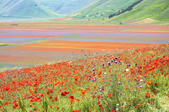Flowering in Castelluccio Royalty Free Stock Images