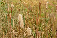 Flowering Cattail Plants In The Marsh - Typhaceae Stock Images