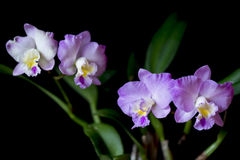Flowering cattleya orchid Stock Images