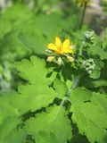 Flowering of celandine Royalty Free Stock Image