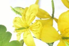 Flowering celandine Royalty Free Stock Image
