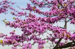 Flowering Cercis European or Juda tree. Cercis siliquastrum Royalty Free Stock Images