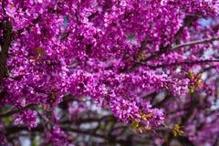 Flowering Cercis siliquastrum Stock Image