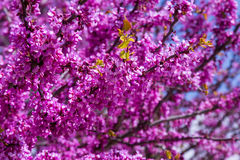 Flowering Cercis siliquastrum in spring Royalty Free Stock Images