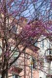 Flowering of cercis siliquastrum in spring Stock Images