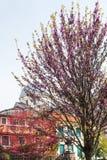 Flowering cercis siliquastrum tree in Padua Stock Image
