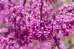 Flowering Cercis siliquastrum Royalty Free Stock Photo