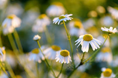 Flowering. Chamomile. Blooming chamomile field, Chamomile flowers on a meadow in summer, Royalty Free Stock Photography