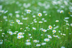 Flowering. Chamomile. Blooming chamomile field, Chamomile flowers. Natural herbal treatment. Stock Image