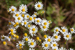 Flowering chamomile, medical plant. With blurred background stock image