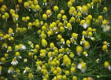 Flowering Chamomile Medicinal Matricaria recutita, Matricaria chamomilla, Chamomilla recutita. In the meadow in the wild bloom Chamomile Medicinal Matricaria stock photo