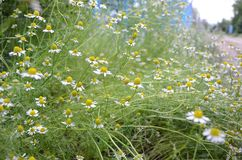 Flowering chamomiles in the country.Beautiful little daisies in the field royalty free stock images