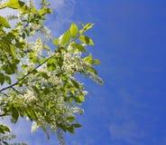 Flowering Cherries Royalty Free Stock Image