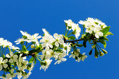 Flowering cherry Royalty Free Stock Image