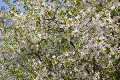 Flowering cherry Royalty Free Stock Photo