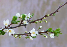 Flowering Cherry Royalty Free Stock Images