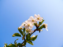 Flowering cherry. On blue sky background Stock Photos