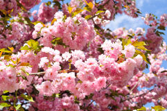 Flowering cherry in April Stock Photography