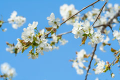 Flowering cherry. On the background of blue sky stock images