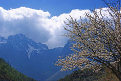 Flowering cherry on the background of mountains. Blooming white cherry on the background of snow-capped mountains Stock Photography