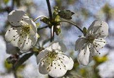 Flowering Cherry Stock Images