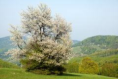 Flowering Cherry, Bile Karpaty, Czech Republic Stock Photos