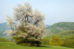 Flowering Cherry, Bile Karpaty, Czech Republic Stock Photos