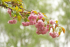 Flowering cherry Royalty Free Stock Photography