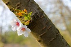 Flowering cherry Stock Photography