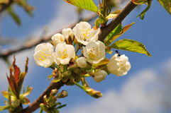 Flowering cherry blossom branch Stock Photos
