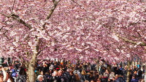 Flowering cherry blossom in spring stock footage