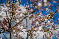 Flowering cherry blossom stock images
