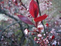 Flowering Cherry Blossoms. Closeup view of buds and cherry blossoms in early spring Royalty Free Stock Photography
