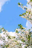 Flowering Cherry Blossoms Stock Photography