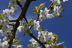 Flowering Cherry Blossoms against a blue sky Stock Photos