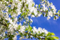 Flowering cherry blossoms Royalty Free Stock Images