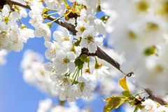 Flowering cherry blossoms Stock Photos