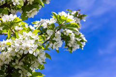Flowering cherry blossoms Royalty Free Stock Image