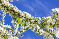 Flowering cherry blossoms Royalty Free Stock Photo