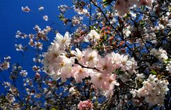 Flowering cherry Royalty Free Stock Photos