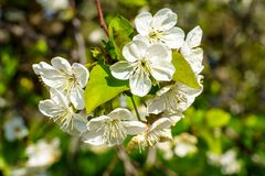 Flowering cherry branch with beautiful blooming white flowers and young green leaves in the garden in spring