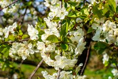 Flowering cherry branch with beautiful blossom white flowers and young green leaves against blue sky in the garden in spring