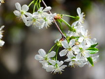 Flowering cherry branch. Beautiful flowers of cherry tree in early spring Royalty Free Stock Photos