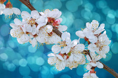 Flowering cherry branch stock image