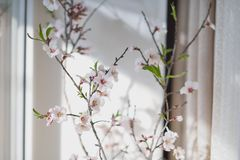 Flowering cherry branch Stock Photography