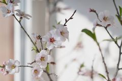 Flowering cherry branch Royalty Free Stock Photography