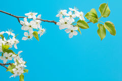 Flowering cherry branch Royalty Free Stock Image